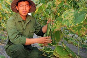 Trai 9x trồng dưa chuột to, dài và tròn lãi chục triệu/tháng