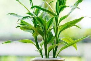 Trúc Phú quý mang tiền tài, danh vọng, cách trồng và vị trí đặt phù hợp phong thủy