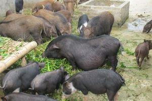 Giá heo hơi hôm nay 11/2: Giá lợn mán thảo dược 300.000 đ/kg, heo hơi biến động nhẹ