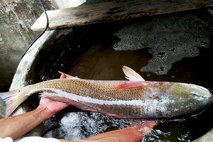 Cá giống sủ vàng nặng 4,2 kg mắc lưới ngư dân