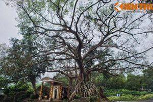 Ngắm cây đa 300 tuổi mọc trên khối đá khổng lồ ở Huế