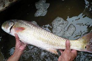 Cận cảnh cá lạ nghi cá sủ vàng quý hiếm của ngư dân Quảng Bình