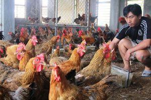 Bí quyết làm giàu: Xây nhà tầng nuôi gà sạch