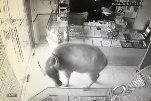 Clip: Trâu 'điên' húc người rồi lao vào phá tiệm vàng ở Thái Nguyên