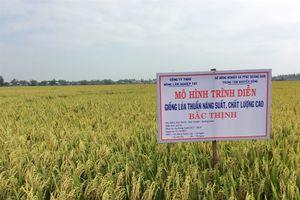 Lúa Bắc Thịnh 'ghi điểm' trên đất Quảng Nam
