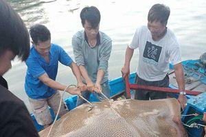 Ngư dân Bình Thuận bắt được cá đuối 'khủng' nặng 120 kg, dài gần 3 m