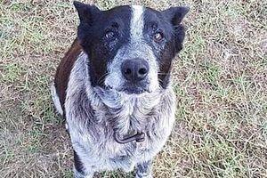 Chú chó 17 tuổi cứu sống cô chủ nhỏ lạc trong rừng