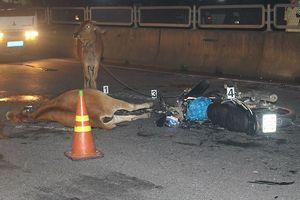 Hậu họa nạn trâu bò thả rông từ một vụ tai nạn giao thông hy hữu