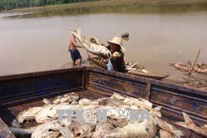 Gần 20 tấn cá chết trắng tại đập Bình Hà 1, Bình Phước