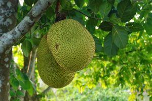 Sóc Trăng: Phát sốt với mít giống Thái 45.000 đồng/kg.
