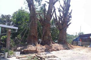 Vụ vận chuyển cây 'khủng': Kiểm tra, lập biên bản hiện trạng 3 cây đang được trồng