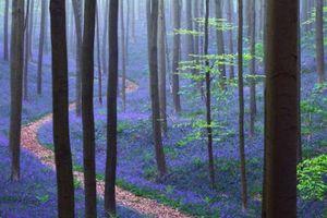Ngẩn ngơ ngắm rừng hoa chuông xanh nở rộ ở Bỉ