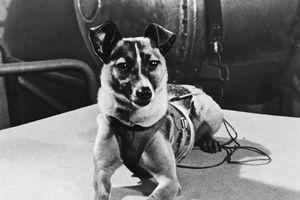 Số phận buồn của chú chó đầu tiên bay vào không gian