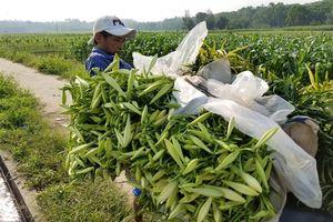 Trồng hoa loa kèn thu nhập cao ở Thừa Thiên – Huế