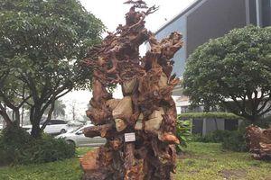 Chiêm ngưỡng gốc gỗ trai đỏ thế 'bạt phong hồi đầu' nghìn năm tuổi ở Hà Nội