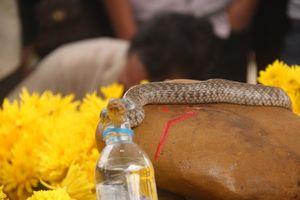 Ùn ùn kéo đến khấn vái mẹ con 'rắn thần' trên mộ vô danh: Rắn con đã chết