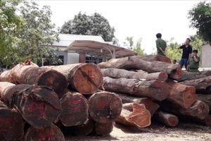 Vụ buôn gỗ lậu ở Đắk Nông: Bắt khẩn cấp đàn em thân tín của Phượng 'râu'
