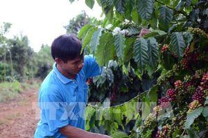 Trồng xen canh cây ăn quả ồ ạt trong vườn cà phê ở Đắk Lắk
