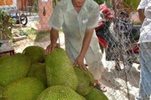 Giá mít Thái 'lên cơn sốt': Nhà vườn hái không kịp bán