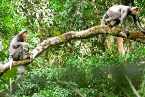 Quảng Nam: Khẩn cấp bảo vệ voọc chà vá chân xám trước nguy cơ tuyệt chủng