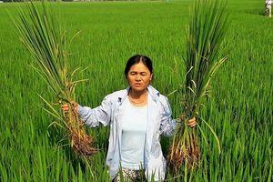 Nông dân xứ Thanh kêu cứu vì hàng trăm ha diện tích bị 'lúa ma' hoành hành