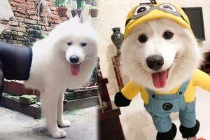 23 hình ảnh 'ngáo ngơ' hài hước của chó Samoyed khiến ai cũng muốn 'rước' về nuôi