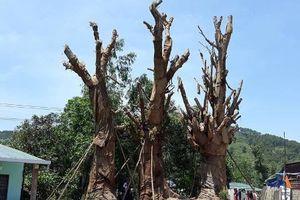 Tỉnh Thừa Thiên - Huế nói về 3 cây đa khổng lồ