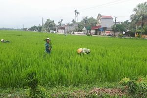 Nông dân điêu đứng vì 'lúa ma' trắng đồng