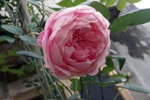 Chàng trai yêu hoa hồng đến lạ