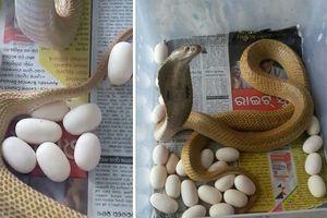 Rắn hổ mang mò vào nhà dân đẻ 23 trứng