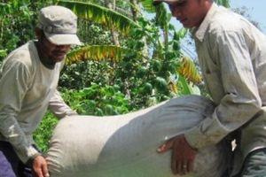 Giá lúa tại ruộng bất ngờ tăng lên 5.300 đ/kg, nông dân đổi đời?