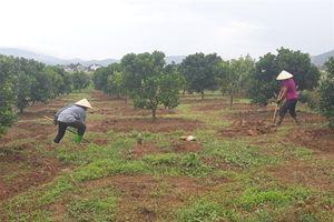 Bắc Giang cẩn trọng quy hoạch cây ăn trái