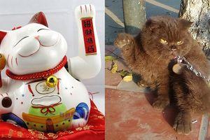 Phát cuồng trước biểu cảm của chú 'mèo lợn' bị chủ buộc ngoài cửa vừa giảm cân vừa làm 'mèo thần tài'