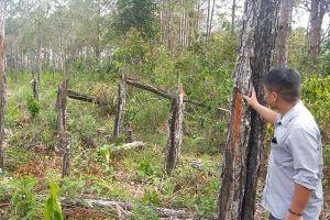 Bức tử rừng thông ở Khánh Sơn