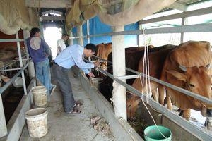 Làm giàu: Lấp đất nuôi tôm trồng cỏ nuôi bò