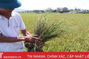 Năm lần bảy lượt phun thuốc trừ sâu, lúa VTNA2 vẫn không cho thu hoạch