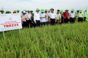 Liên kết sản xuất lúa giống Đông A1 và TBR225