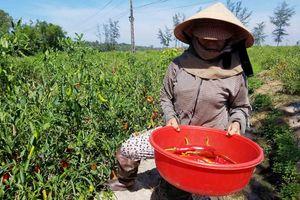 Thừa Thiên Huế: Doanh nghiệp không thu mua ớt như cam kết, dân 'khóc ròng'