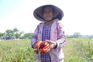 Loay hoay tìm đầu ra cho cây ớt khi doanh nghiệp bội tín