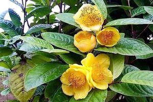 Trồng trà hoa vàng thu cả chục tỷ đồng mỗi năm