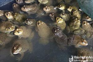 Thu tiền triệu mỗi ngày từ mô hình nuôi ếch giống