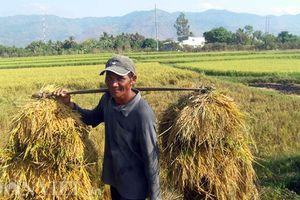 Người dân Thanh Hóa thức đêm thu hoạch lúa để tránh nắng