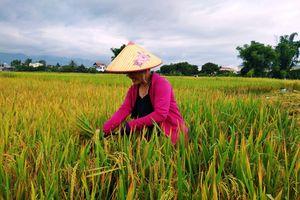 Điện Biên: Giải pháp nào để diệt trừ lúa lẫn?