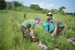 Vụ dân trồng ớt ở Huế 'khóc ròng': Doanh nghiệp 'giải cứu'