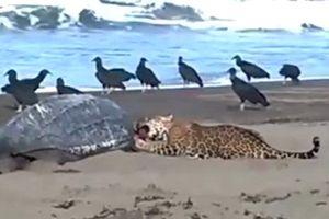 Xôn xao cảnh tượng báo đốm xé xác rùa biển