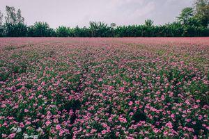 Cánh đồng hoa dừa cạn tím biếc đẹp như tranh vẽ ở An Giang