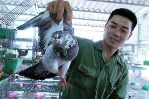 9X làm giàu từ nuôi chim bồ câu Pháp