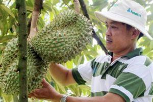 Phá cà phê, trồng sầu riêng cơm vàng, tiền lời tăng lên 10 lần