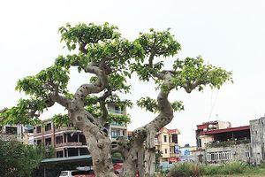 Đại gia Phú Thọ vác 'bao tải tiền' đi mua cây sanh 'ngai vàng'