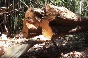 Hàng chục cây ươi rừng bị chặt hạ để lấy hạt